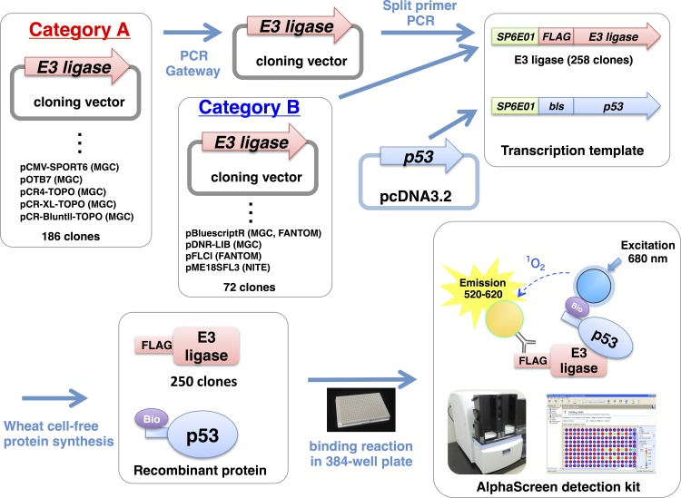 Study overview. cDNA clones encoding the E3 ubiquitin ligases (E3s) used in this study were divided into two categories. The clones in category B could be used directly for split-primer PCR, but those in category A were inserted into vectors that cannot be used directly for split-primer PCR and thus were transferred into the pDONR221 vector by using the Gateway system. The names of the vectors and the origins of the clones are indicated.