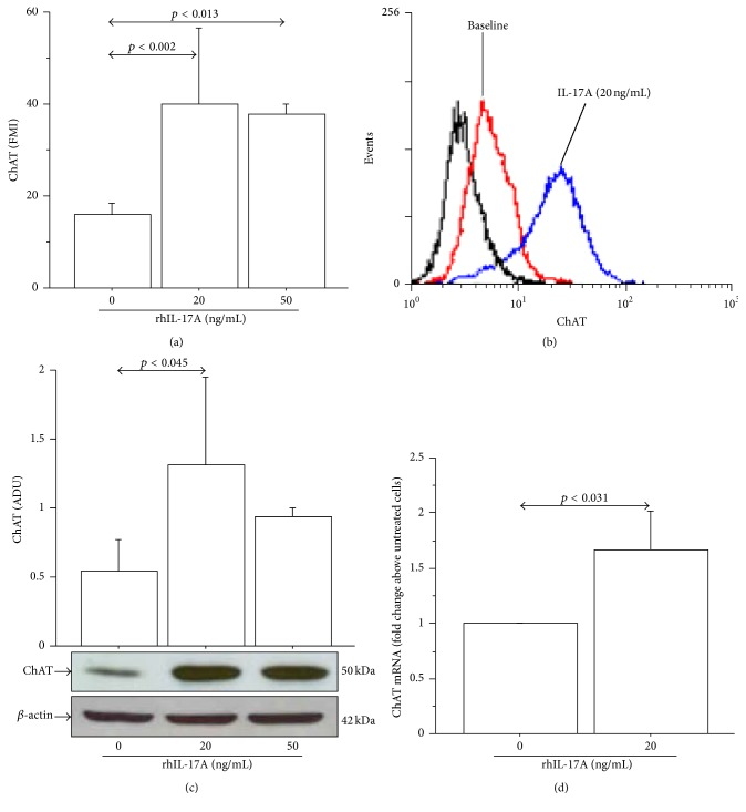 rhIL-17A increased ChAT protein expression and mRNA in 16-HBE cells. Cells were stimulated with rhIL-17A (0–50 ng/mL) for 24 h to evaluate ChAT protein expression (a) by flow cytometry. Bars represent mean ± SD of fluorescence mean intensity (FMI) of three separate experiments. Representative (b) flow cytometry analysis and western blot (c) are shown. Bars represent mean ± SD of arbitrary densitometric units (ADU). Representative western blot analysis of ChAT protein and β -actin is shown. (d) Cells were stimulated with rhIL-17A (0–20 ng/mL) for 24 h to evaluate ChAT mRNA levels by RT-PCR. Bars represent mean ± SD of arbitrary units of three separate experiments and were plotted as fold change compared to untreated cells. Statistical analysis was performed by ANOVA test followed by Fisher's PLSD multiple comparison test or Student's t -test. The black curve represents the anti-IgG isotype negative control antibody.
