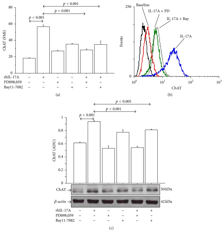 Effects of PD098,059 (25 μ M) and Bay11-7082 (50 μ M) on ChAT protein expression in 16-HBE cells. Cells were preincubated for 1 h with PD098,059 (25 μ M) or Bay11-7082 (50 μ M) and then stimulated with rhIL-17A 20 ng/mL for 24 h to evaluate ChAT protein expression (a) by flow cytometry. Bars represent mean ± SD of fluorescence mean intensity (FMI) of three separate experiments. Representative (b) flow cytometry analysis and western blot (c) are shown. Bars represent mean ± SD of arbitrary densitometric units (ADU). Representative western blot is shown. Statistical analysis was performed by ANOVA test followed by Fisher's PLSD multiple comparison test. The black curve represents the anti-IgG isotype negative control antibody.