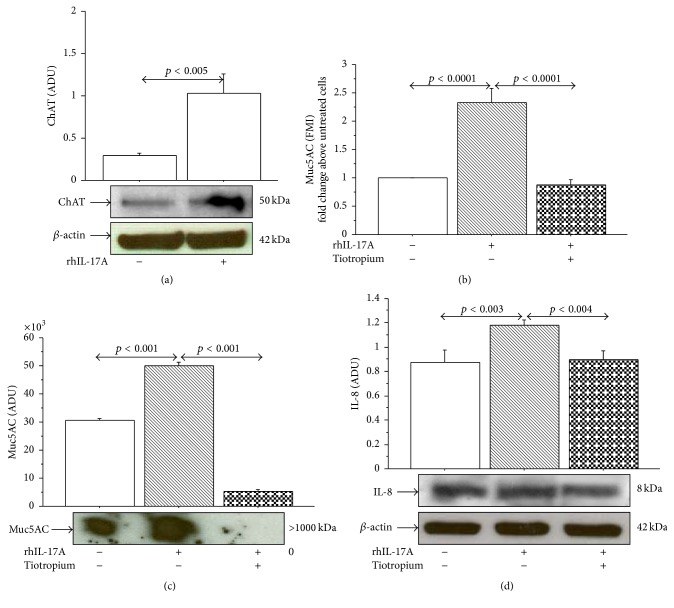 Effect of Tiotropium on ChAT, Muc5AC, and IL-8 in N-HBE cells. Cells were incubated for 1 h with Tiotropium (100 nM) before addition of rhIL-17A 20 ng/mL for 24 h to evaluate (a) ChAT protein expression by western blot. Bars represent mean ± SD of arbitrary densitometric units (ADU). Representative western blot analysis of ChAT protein and β -actin is shown. (b) Muc5AC protein expression by flow cytometry. Bars represent mean ± SD of fluorescence mean intensity (FMI) of three separate experiments and were plotted as fold change compared to untreated cells. (c) Muc5AC protein expression by western blot. Bars represent mean ± SD of arbitrary densitometric units (ADU) of three different experiments. Representative western blot analysis of Muc5AC protein is shown. (d) IL-8 expression by western blot. Bars represent mean ± SD of arbitrary densitometric units (ADU). Representative western blot analyses of IL-8 protein and β -actin are shown. Statistical analysis was performed by ANOVA followed by Fisher's PLSD multiple comparison test. p