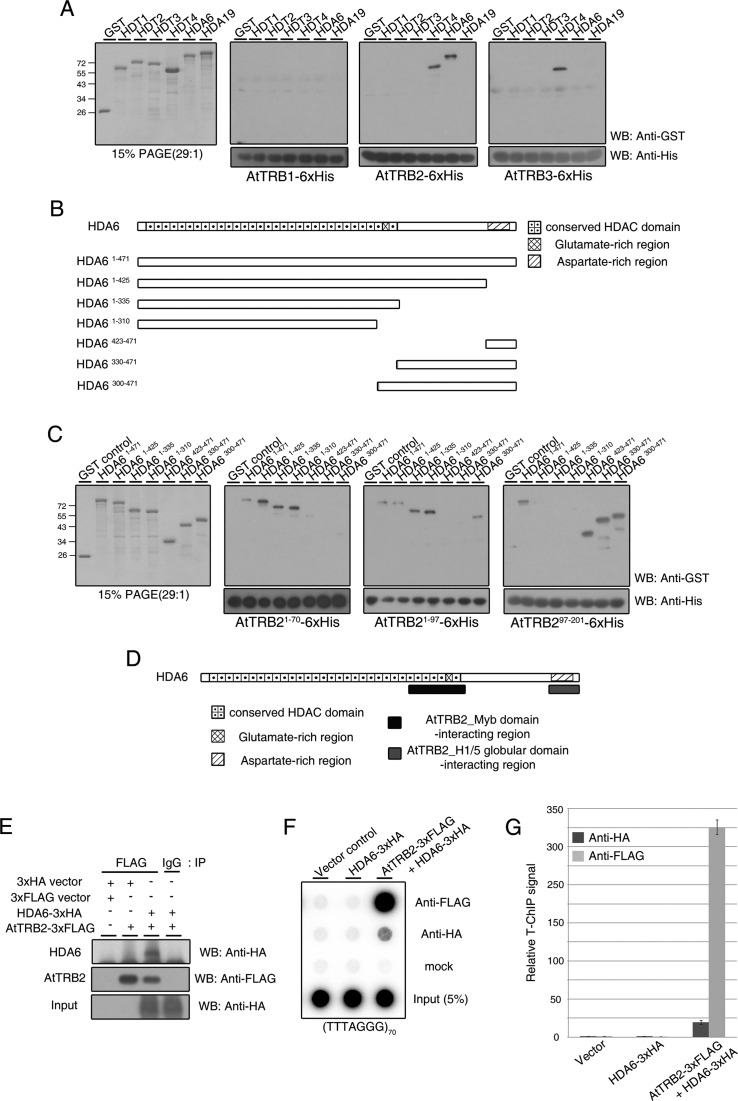 AtTRB2 also interacts with HDA6, a RPD3-type histone deacetylase. ( A ) Western blot analysis showing the different patterns of interaction between AtTRB proteins and various <t>HDAC</t> proteins. PAGE shows the purified HDAC proteins used in this assay (first panel). ( B ) Scheme of various HDA6 truncated proteins fused to <t>GST.</t> HDA6 protein comprises three predicted regions: a conserved HDAC domain in the N-terminal region, a glutamate-rich region in the center of the protein and an aspartate-rich region in the C-terminal region. ( C ) Pull-down assay to map the regions of HDA6 that interact with AtTRB2. PAGE shows the purified HDA6-truncated proteins shown in (B). ( D ) Schematic map indicating the region of HDA6 involved in binding to AtTRB2. ( E ) Western blots demonstrating the interaction between AtTRB2 and HDA6 in vivo . Empty control and IP with IgG were used as negative controls. ( F ) HDA6-associated telomeric repeat signal was detected in an AtTRB2-dependent manner. ( G ) Quantification of multiple independent T-ChIP experiments as shown in (F). T-ChiP analysis was performed and values were calculated as described in the legend to Figure 4 .
