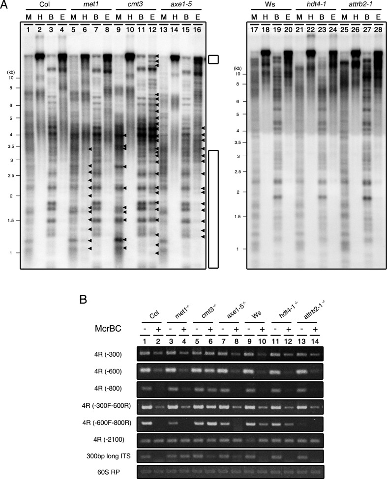 DNA methylation is involved in telomere homeostasis in Arabidopsis thaliana . ( A ) Southern blot analysis showing the pattern of DNA methylation of telomeric repeats in cmt3, met1, axe1–5 (left panel), hdt4–1 and attrb2–1 mutants (right panel). DNA blots of methylation-sensitive restriction enzyme-digested gDNA probed with [TTTAGGG] 70 repeat sequences. M, <t>MspI;</t> H, HpaII; B, BstNI; E, <t>EcoRII.</t> Arrowheads represent the different signals detected by probe compared to wild-type. Small and large white bar indicate the high and low molecular weight ranges of the gDNAs, respectively, affected by restriction enzyme digestion. ( B ) Chop-PCR in subtelomeric and ITSs regions using McrBC endonuclease. 4R-300, -600, -800 and -2100 indicate the different regions on the subtelomeric regions closed to telomere in the right arm of chromosome IV. The 60S RP gene was used as a reference for quantitative comparisons. −, +; McrBC-untreated/ -treated.