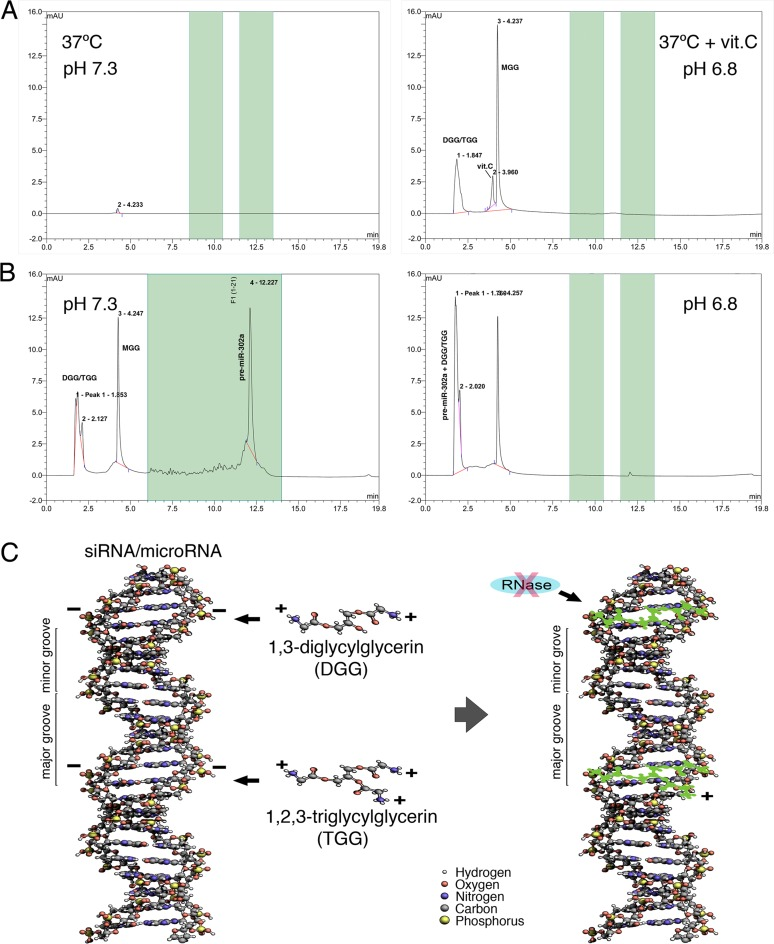 HPLC detection of glycylglycerin production and glycylglycerin-bound pre-miRNA. ( A ) HPLC analyses showed that production of glycylglycerins can naturally occur in a pure chemical reaction between glycine and glycerin at pH 6.8 in the presence of L-ascorbic acid (vit.C), but not in the same reaction at pH 7.3. ( B ) HPLC peak of DGG/TGG-mixed pre-miR-302a was shifted from 12.23 min at pH 7.3 (unbound) to 1.76 min at pH 6.8 (DGG/TGG-bound), indicating a marked loss of pre-miRNA negative charges after binding with DGG/TGG. After HPLC separation at pH 6.8, the DGG/TGG-bound pre-miR-302a was collected from the 1.7–1.8 min section of HPLC fragments and further used for MS analyses, as shown in Figure 7A . ( C ) Chemical 3D modeling of electro-binding between DGG/TGG and pre-miRNA/siRNA suggested that the long strand structures of 1,3-diglycylglycerin and 1,2,3-triglycylglycerin may fit into the minor grooves of the pre-miRNA/siRNA double helix structures and hence bind to the negatively charged phosphodiester-linkage backbones (green shadow) located in the minor grooves of pre-miRNA/siRNA via the positively charged amino groups of DGG/TGG, so as to form a layer of protective coating for preserving pre-miRNA/siRNA integrity.