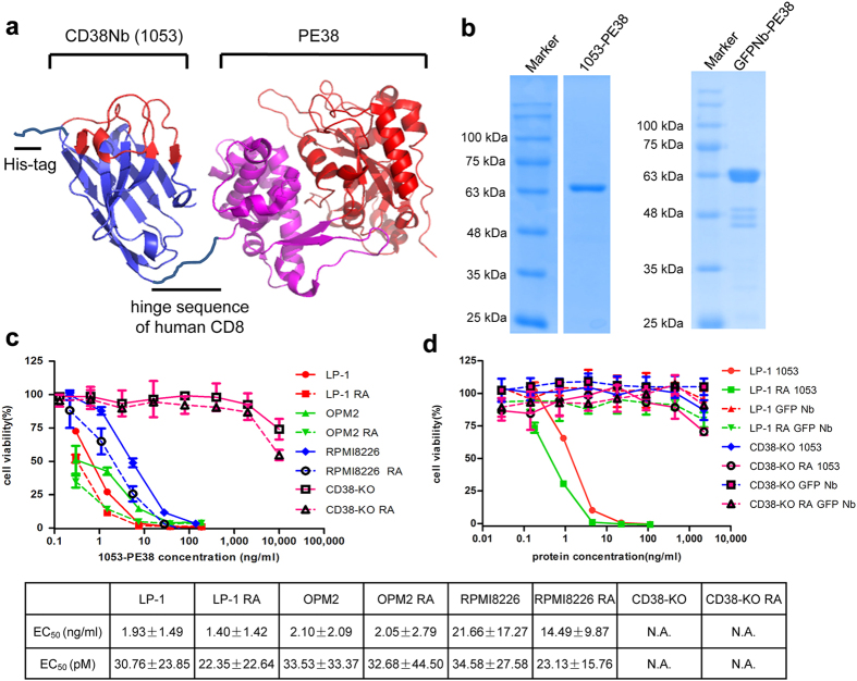 Designing and characterization of immunotoxin. ( a ) The structure of 1053-PE38. ( b ) SDS-PAGE analysis of pure 1053-PE38 and GFPNb-PE38. The cytotoxicity of 1053-PE38 ( c ) and GFPNb-PE38 ( d ), as a control, on MM cell lines, with or without RA pre-treatment measured by WST-1 assay and analyzed by Graphpad. The experiments were performed four times.