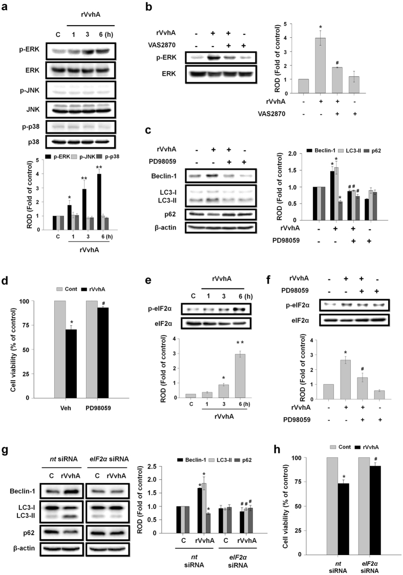 Phosphorylation of ERK by ROS is required of eIF2α phosphorylation and autophagy induction. ( a ) Caco-2 cells were incubated in the presence of rVvhA (50 pg/mL) for various times (0–6 h) and then harvested. Total protein was extracted and blotted with p-ERK, p-JNK, p-p38, ERK, JNK, and p38 antibodies. Data represent mean ± S.E. n = 4. * P