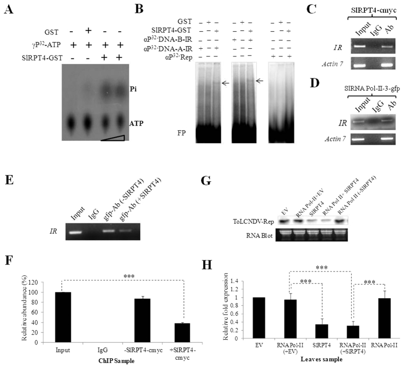 Molecular characterization of SlRPT4 protein. ( A ) Thin-layer chromatography (TLC) to evaluate ATPase activity. Figure shows dissociation of Pi from γP 32 -labelled ATP. Level of Pi was enriched upon increasing the amount of protein. GST protein was used as a negative control of the experiment. ( B ) DNA binding activity of SlRPT4-GST protein. Binding of SlRPT4 protein onto αP 32 -dCTP-labeled corresponding fragment of DNA-A-IR, DNA-B-IR and Rep regions are shown by retarded DNA-protein complex through EMSA on 6% native polyacrylamide gel. Signs, +/− represent the presence/absence of components. GST protein was used as a control substrate. In vivo binding assay was performed by transiently overexpressing SlRPT4 ( C ); SlRNA PolII subunit-3-gfp construct ( D ); and SlRPT4 and SlRNA PolII subunit-3 co-infiltration ( E ), in ToLCNDV infected leaves. Figures depict the amplification of IR fragments from the chomatin immuno-precipitated from the sample by using tag-corresponding to c -myc and gfp. ( E ) Relative abundance of IR specific fragments in the experimental samples. ( F ) Accumulation of Tomato leaf curl New Delhi virus ToLCNDV specific Rep transcripts in H T (ToLCNDV infected cultivar H-88-78-1) and H SlRPT4+T ( SlRPT4 silenced H-88-78-1 infected with ToLCNDV), ( G ) Northern hybridization showing the accumulation of Rep transcripts, ( H ) Relative accumulation of Rep transcripts in the leaf samples infiltrated with empty vector (EV), SlRPT4 -myc and RNA Pol II-3-gfp construct alone, and co-infiltrated with RNA Pol II-3-gfp and SlRPT4-myc construct. Fragment corresponding to ToLCNDV-Rep gene was used as probe. Total RNA is shown as equivalent loading in the experiment. Data depicts means ± SD of three independent experiments (n = 3); * P