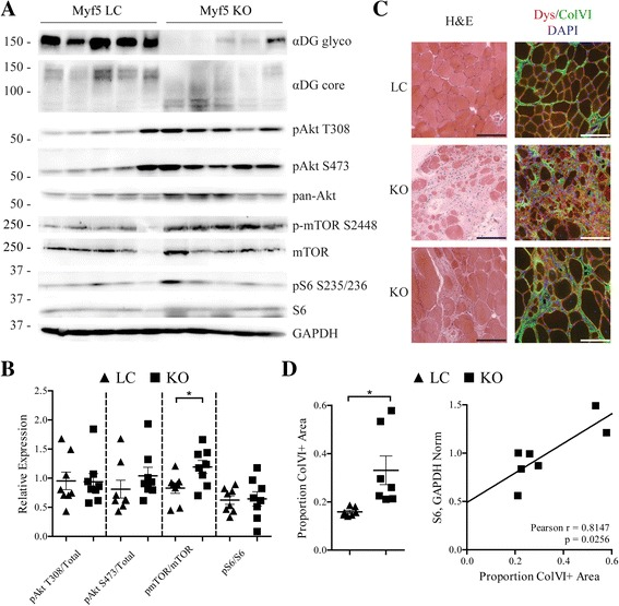 mTOR is activated in aged, fasted Myf5/ Fktn KO muscle. a Western blot analysis of solubilized protein from the hind limb muscle of Myf5/ Fktn LC and KO mice. b Quantification of Akt phosphorylation at T308 and S473, mTOR phosphorylation at S2448, S6 phosphorylation at S235/236, relative to total Akt, mTOR, and S6 protein, respectively, as a measure of protein activation. mTOR phosphorylation at S2448 normalized to total mTOR is significantly increased in KO muscle. Two-tailed Student's t test; * p