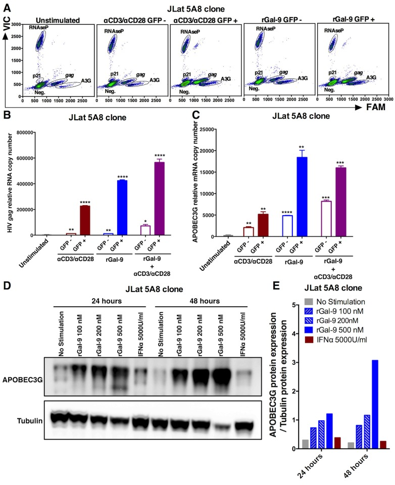 rGal-9 induces the expression of the APOBEC3G anti-HIV host restriction factor in vitro . ( A–C ) Digital droplet PCR gene expression profiling quantifying HIV gag , host APOBEC3G, p21, and RNAseP (housekeeping control) mRNA in J-Lat 5A8 cells sorted into GFP-positive and GFP-negative populations after either rGal-9 treatment, αCD3/αCD28 stimulation, or a combination of both. Mean ± SEM is displayed, and statistical comparisons against the unstimulated control were performed using two-tailed unpaired t tests. * = p
