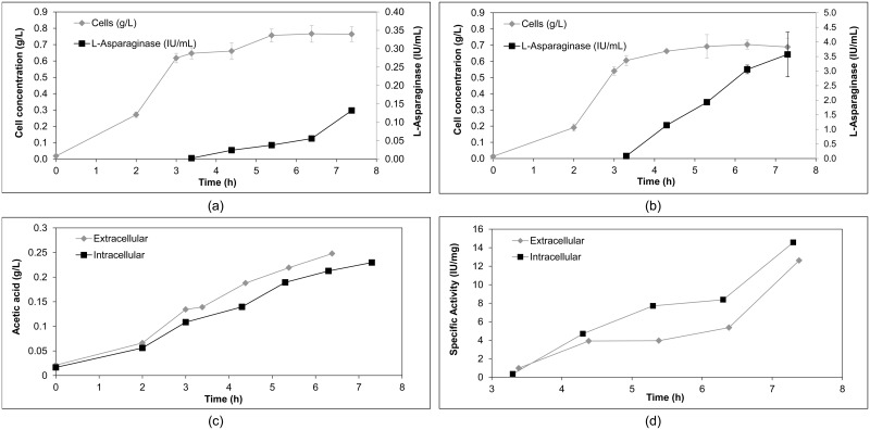 (a) Cell growth and activity of L-asparaginase using E . coli BL21 (DE3)/pET26b/ ans (extracellular expression) induced after 203 minutes of culture; (b) growth and expression of the protein using E . coli BL21 (DE3)/pET28a/ ans (intracellular expression) induced after 198 minutes of culture; (c) production of acetic acid over time; (d) specific activity of L-asparaginase over time as of induction of protein expression using the recombinant strains of L-asparaginase ( E . coli BL21 (DE3)/pET26b/ ans and E . coli BL21 (DE3)/pET28a/ ans ). The results are the mean of the data, with error bars representing the standard deviation of triplicate values.