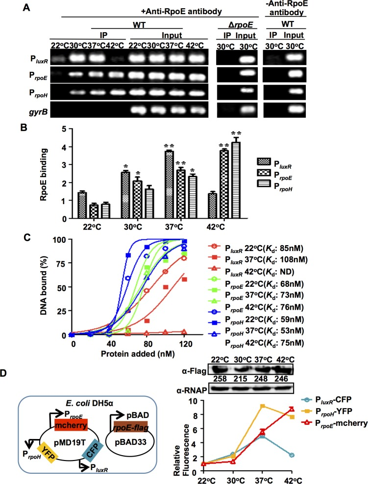 RpoE binds to target <t>DNA</t> in response to temperature changes in vivo and in vitro . ( A ) ChIP assays were used to analyze RpoE binding to the luxR , rpoE and rpoH promoter in vivo . Cells were cultured at different temperatures for 9 h. They were then cross-linked, washed, and sonicated to produce sheared chromosomal DNA was purified from the sheared pellets both before precipitation (input) and after precipitation in the presence (+) and absence (-) of the anti-RpoE antibody (IP). The DNA was then amplified using <t>PCR</t> with the primers P luxR chip-F/R, P rpoE -chipF/R, P rpoH -chipF/R and control-F/R ( S2 Table ). ( B ) ChIP assays were followed by qPCR to determine the relative enrichment in DNA molecules that were bound to RpoE at different temperatures. The results are shown normalized to the control gene gyrB . Results were calculated using the ΔΔ C T method. * P