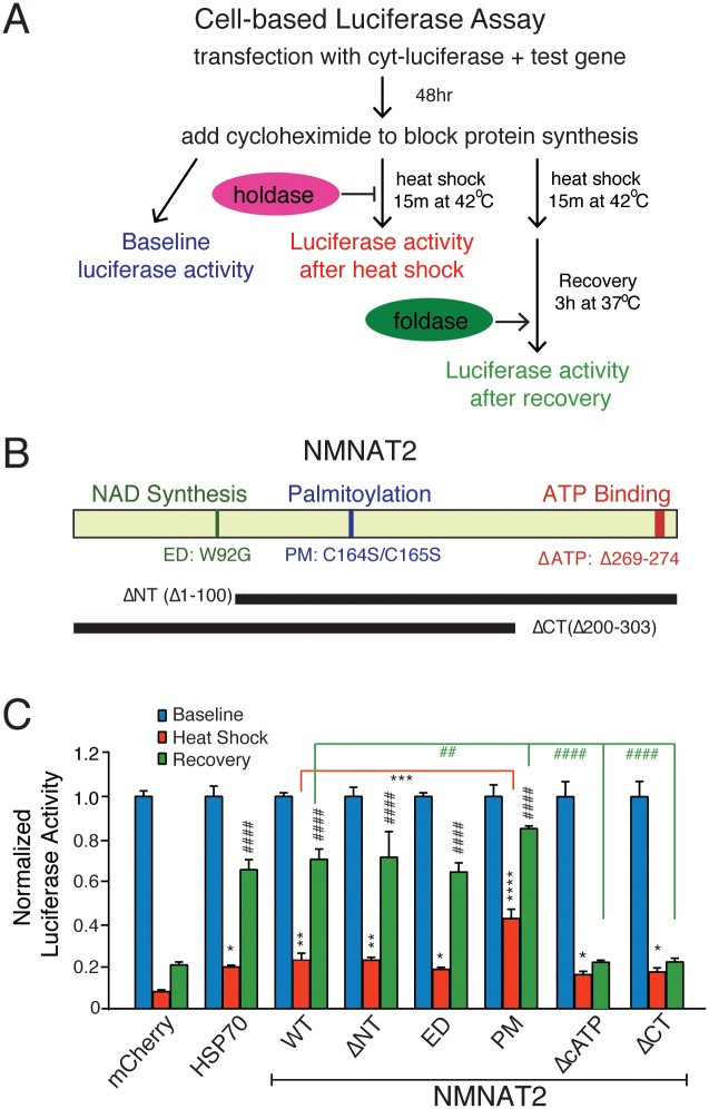 NMNAT2 exerts chaperone activity independently from its NAD-synthase function. (A) Diagram illustrates simplified experimental procedure of cell-based luciferase denaturation and refolding assay. (B) Diagram showing human NMNAT2 and the mutants generated for this study. (C) Summary for the chaperone activity of mCherry, HSP70, and various NMNAT2 mutants. Blue bars show baseline luciferase activity. Red bars show luciferase activity immediately after heat shock, while blue bars show luciferase activity after recovery. * and # indicate significant differences from mCherry heat shock, and mCherry recovery, respectively ( n = 3 with triplicates per experiment). Individual values for 2C are provided in S1 Data . * /# ,** /## ,*** /### ,**** /#### indicate p