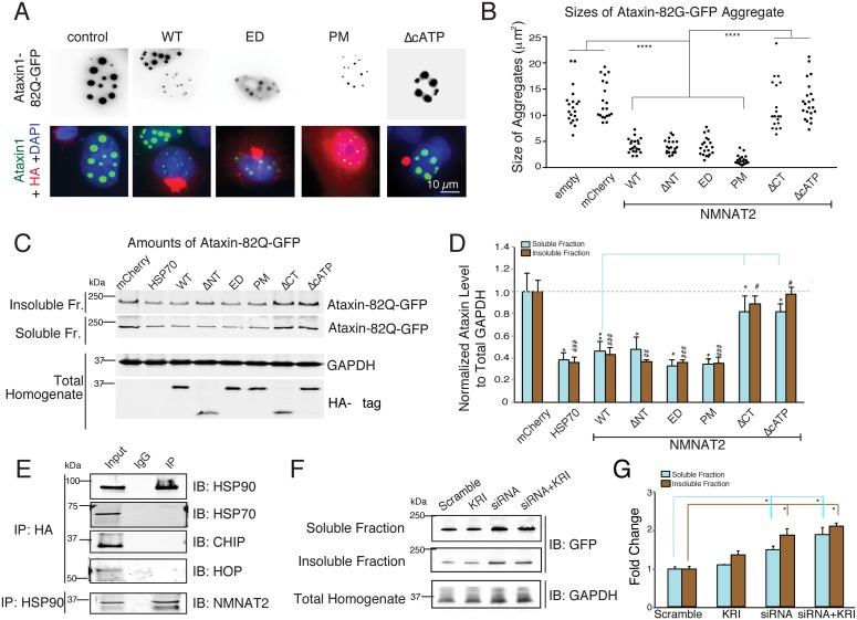 NMNAT2 reduces Ataxin1-82Q-GFP aggregates. ( A ) Immunostaining images show that cells expressing NMNAT2-WT, -ED, and -PM have fewer Ataxin1-82Q-GFP aggregates compared to untransfected cells or cells expressing mCherry, NMNAT2-ΔCT, or NMNAT2-ΔcATP ( n = 3 independent experiments). ( B ) Summary of the sizes of individual Ataxin1-82Q-GFP aggregates present in transfected cells ( C ) Example western blot showing that expression of HSP70 and NMNAT2-WT/ΔNT/ED/PM, but not NMNAT2-ΔCT/ΔcATP have reduced Ataxin1-82Q-GFP aggregates in both the soluble and RIPA-insoluble fractions. ( D ) Summary of normalized Ataxin1-82Q-GFP levels in both the soluble and insoluble fractions of cell lysates prepared from cells expressing the indicated cDNAs ( n = 3 independent experiments). GAPDH in total lysate was used to normalize GFP signals in the soluble and insoluble fractions. *and # indicate significant differences in soluble or insoluble Ataxin1-82Q-GFP levels between mCherry control and transfected test protein, respectively. ( E ) Immunoprecipitation identifies an interaction between NMNAT2 and HSP90, but not between NMNAT2 and HSP70 or HOP or CHIP in the Ataxin1-82Q-GFP and HA-NMNAT2 overexpressing cell line. ( F ) Western blot shows the levels of Ataxin1-82Q-GFP in both soluble and insoluble fractions upon treatment with scrambled siRNA, HSP90-siRNA (siRNA), KRI, or the combination of siRNA and KRI ( n = 3 independent experiments). (G) Inhibition of HSP90 expression, but not HSF1 activity, increases Ataxin1-82Q-GFP accumulation ( n = 3 independent experiments). Individual values for 5B, 5D, and 5G are provided in S1 Data . ns, not significant, * /# p