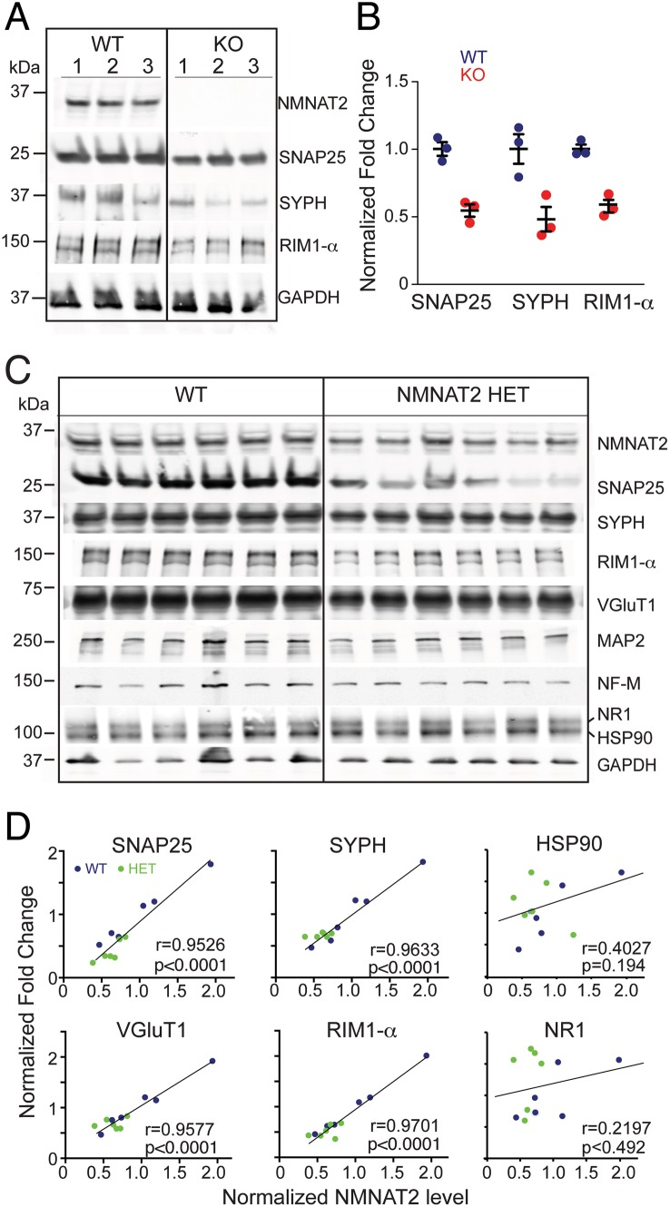 NMNAT2 abundance is positively correlated to the levels of synaptic proteins. ( A–B ) Levels of synaptic proteins analyzed by western blotting in DIV10 WT, HET and KO cortical neurons. n = 3 independent experiments for each genotypes. ( C–D ) Western analysis for the abundance of synaptic proteins in the hippocampi of 8-mo-old NMNAT2 HET and WT ( n = 6 per genotype). The regression lines show the relationships between NMNAT2 and SNAP25, SYPH, VGluT1, RIM1α, HSP90, NR1. Protein levels were normalized to GAPDH. Individual values for 7B and 7D are provided in S1 Data .