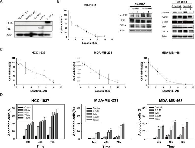 Lapatinib exerts anti-proliferative and apoptotic-inducing effects in triple-negative breast cancer (TNBC) cells A. Confirmation of HER2 and ER-alpha expression in TNBC cell lines (MDA-MB-231, MDA-MB-468, and HCC-1937). MCF-7 was used as a positive control for ER expression and SK-BR3 was used as a positive control for HER2 expression. B. Left, dose-escalation effects of lapatinib on cell viability; Middle and Right, effects of lapatinib (5 μM), anti-HER2 monoclonal antibody trastuzumab (40 μg/ml), or anti-EGFR monoclonal antibody cetuximab (20 μg/ml) on CIP2A in HER2-positive SK-BR3 cells. HER2, p-HER2, EGFR, p-EGFR, ERK, and p-ERK were assayed to confirm the target effects of these drugs. C. Dose-escalation effects of lapatinib on cell viability in TNBC cells. Cells were exposed to lapatinib at the indicated doses for 72 hours and cell viability was assessed by MTT assay. Points , mean ( n = 3); bars , SD. D. Dose-and time-escalation effects of lapatinib on apoptosis in TNBC cell lines. Cells were exposed to lapatinib at the indicated doses for 24, 48, and 72 hours. Apoptotic cells were determined by flow cytometry (sub-G1 analysis of propidium iodide -stained cells). Columns , mean ( n = 3); bars , SD.