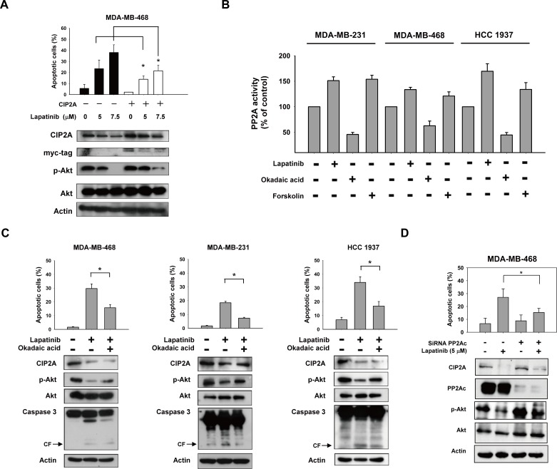 CIP2A/PP2A/p-Akt mediates lapatinib-induced apoptosis in TNBC cells A. ectopic expression of myc-tagged CIP2A reduced the apoptotic effect of lapatinib in MDA-MB-468 cells. B. Analysis of PP2A activity in drug-treated TNBC cells. Cells were treated with DMSO or lapatinib at 10 μM or okadaic acid at 20 nM (as a negative control) or forskolin at 40 μM (as a positive control) for 24 hours. Cell lysates were assayed for PP2A activity. C. Pretreatment of PP2A inhibitor okadaic acid protected cells from lapatinib-induced apoptosis. Cells were pretreated with okadaic acid (20 nM) for 1 hour; then washed and treated with DMSO (control) or lapatinib (10 μM) for 24 hours. Cell lysates were separated and assayed for sub-G1 analysis and western blotting. D. Knockdown of PP2Ac reduced the effects of lapatinib on p-Akt and apoptosis. MDA-MB-468 cells were transfected with siRNA against PP2Ac (catalytic subunit) or control siRNA for 48h, after transfection cells were then treated with lapatinib 5μM for 24 h. Cell lysates were separated and assayed for sub-G1 analysis and western blotting.