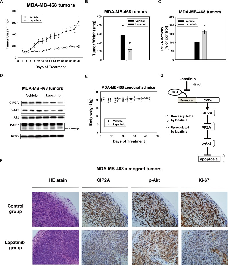 In vivo effect of lapatinib on MDA-MB-468 xenograft nude mice A. Lapatinib treatment decreased the size of MDA-MB-468 tumors. Points , mean ( n = 6); bar , SE. *, P