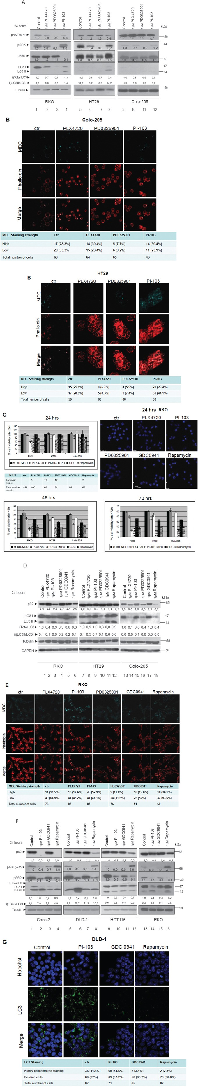 Differential regulation of autophagy by the two signalling pathways MEK/ERK and AKT/MTOR A. Western blot analysis of protein levels of pAKT (ser473), pS6R, pERKs, LC3 and tubulin after 24 h treatment with 1μM BRAFV600E inhibitor PLX4720 (lanes 2, 6 and 10), 1μM MEK inhibitor PD0325901 (lanes 3, 7 and 11) and 1μM of PI3K/MTOR inhibitor PI-103 (lanes 4, 8, 12), in the mutant BRAFV600E cell lines RKO, HT29 and Colo-205 respectively. The quantification of LC3 reflects the whole protein levels as compared to the untreated sample in each cell line (i) and the ratio of LC3II/LC3I in each sample separately (ii). B. The existence of autophagic vacuoles was analysed by 0,1 mM MDC staining under confocal microscope, after treatment of HT29 and Colo-205 cell lines with the kinase inhibitors, described in 3A. C. Cell viability of the mutant BRAFV600E colon cancer cell lines RKO, HT29 and Colo-205 after 24 (upper left panel), 48 (lower left panel) and 72 h (lower right panel) treatments with 1μM of each of the following BRAF/MEK/ERK and AKT/MTOR pathway inhibitors; PLX4720, PI-103, PD0325901 (PD), GDC0941 (GDC) (PI3K inhibitor), Rapamycin (MTOR inhibitor). Cells were also stained with Hoechst after 24h treatment in order to assess the number of apoptotic nuclei (upper right panel). D. Western blot analysis of LC3 and p62 protein levels in the mutant BRAFV600E colon cancer cell lines RKO, HT29 and Colo-205 respectively after 24 h treatment with 1μM of each of the following BRAF/MEK/ERK and AKT/MTOR pathway inhibitors: PLX4720 (2, 8, 14), PI-103 (3, 9, 15), PD0325901 (4, 10, 16), GDC0941 (5, 11, 17), Rapamycin (6, 12, 18). The quantification of LC3 reflects total protein levels as compared to the untreated sample in each cell line (i) and the ratio of LC3II/LC3I in each sample separately (ii). E. Confocal microscope images of two-dimensional culture in RKO cell line after treatment with 1μM of each of the following BRAF/MEK/ERK and PI3K/MTOR pathway inhibitors; PLX4720 (2 nd column), PI-103 (3 rd column), PD0325901(4 th column), GDC0941(5 th column), Rapamycin (6th column) as compared to control untreated cells (1st column). Cells were stained with MDC (upper row, light blue), phalloidin (middle row, red), and merged staining (lower row), in order to detect autophagic vacuoles (MDC) and cell number distribution. The number of cells stained with MDC (high-low) was recorded. The total number of cells by phalloidin staining and the number of MDC stained cells from five different confocal images for each sample was recorded. F. Western blot analysis of protein levels of pAKT(ser473), pS6R, LC3, p62 and tubulin after 24 h treatment with 1μM of PI-103 (lanes 2, 6, 10, 14), 1μM GDC0941 (lanes 3, 7, 11, 15) and 1μM Rapamycin (lanes 4, 8, 12, 16) in Caco-2, DLD-1, HCT116 and RKO cell lines. Protein levels were normalized against tubulin. The quantification of LC3 reflects the total protein levels as compared to the untreated sample in each cell line (i) and the ratio of LC3II/LC3I in each sample separately (ii). G. Confocal microscope images of two-dimensional culture in DLD-1 cell line after treatment with 1μM of each of the following PI3K/MTOR pathway inhibitors; PI-103 (2 nd column), GDC0941(3 rd column) and Rapamycin (4th column) as compared to control untreated cells (1st column). Cells were stained with Hoechst (upper row, blue), LC3 antibody (middle row, green) and merged (lower row). The total number of cells by Hoechst staining and the number of LC-3 stained cells from five different confocal images for each sample was recorded.
