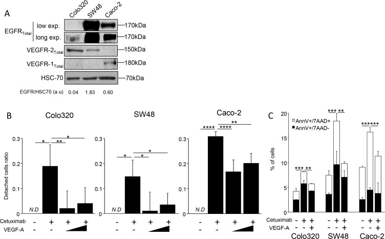 VEGF-A can inhibit cetuximab cytoxicity in vitro ( A ) Western Blot analysis showing VEGFR1, VEGFR2 and EGFR expression. HCS-70 was used as loading control and as a reference for EGFR quantification (a.u: arbitrary unit). ( B ) Cell proliferation analyzed by crystal violet staining. SW48, Caco-2 and Colo320 colon cancer cell lines were incubated or not with increasing dose of human recombinant VEGF-A (0,5 or 5 ng/mL). Cetuximab (500 μg/mL) was added the following day in culture medium and cell death was analyzed 7 days later. ( C ) Annexin V/7AAD staining. Cells were incubated with VEGF-A 5 ng/mL. Cetuximab 500 μg/mL was added the following day. Cell death was evaluated 24 hours after cetuximab was added, AnnexinV positive cells are in black boxes, double positive cells are in white boxes (* p