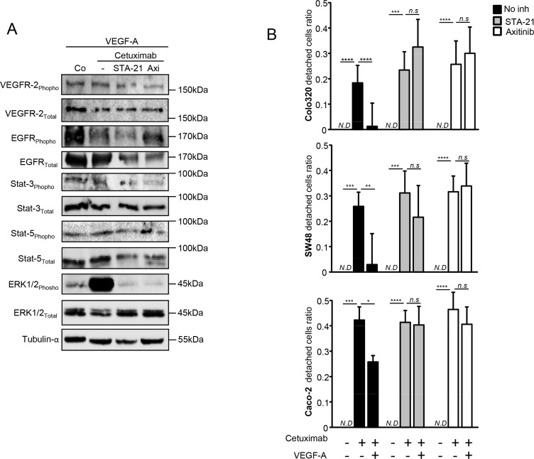 VEGFR2/Stat-3 pathway is involved in <t>VEGF-A-induced</t> resistance to anti-EGFR therapy ( A ) Western blot analysis performed on SW48 colon cancer cell line. Cells were stimulated with human recombinant VEGF-A (5 ng/mL) and with or without axitinib or STA-21 during 24 hours. Cetuximab was added the following day for 24 hours. α-tubulin was used as loading control (Co: Control). ( B ) Cell proliferation analyzed by crystal violet staining. Colon cancer cell lines were incubated or not with human recombinant VEGF-A (5 ng/mL) and STA-21 (10 μM) or axitinib (500 pM) were concomitantly added. Cetuximab (500μg/mL) was added the following day in culture medium and cell death was analyzed 7 days later. (* p