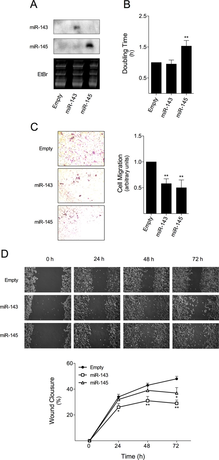 miR-143 or miR-145 overexpression reduces HCT116 colon cancer cell doubling time and migration miR-143 or miR-145 overexpressing cells were produced by transducing HCT116 cell line with viral particles containing MSCV-Neo constructs expressing miR-143, miR-145 or empty vector, as control. ( A ) miR expression was assayed by northern blot. Gel loading controls are shown from ethidium bromide (EtBr) staining of RNA. ( B ) HCT116-Empty, HCT116-miR-143, and HCT116-miR-145 cells were plated onto a 96-well E-Plate of xCELLigence System. Cell index was measured every 5 min for 24 h and used to plot and calculate cell doubling time. ( C ) Cell migration was assessed by transwell migration assay, with cells allowed to migrate for 9 h after cell platting; ( D ) and by wound healing assay at 24, 48 and 72 h after wound formation. Results are expressed as (B, C) mean ± SEM fold change to control cells, or (D) percentage of wound closure ± SEM, from at least three independent experiments. ** p