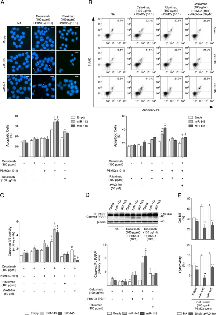 miR-143 or miR-145 overexpressing cells are more sensitive to cetuximab-mediated ADCC-induced apoptosis HCT116-Empty, HCT116-miR-143 and HCT116-miR-145 cells were exposed to 100 μg/ml cetuximab, 100 μg/ml rituximab or PBMCs (10:1 or 20:1) alone, or co-treatment of cetuximab or rituximab together with PBMCs (10:1 or 20:1), or vehicle (control). When indicated HCT116-derived cells were pretreated for 1 h with 50 μM z-VAD-fmk. ( A ) Nuclear morphology was evaluated by fluorescence microscopy after Hoechst staining, 24 h after treatment. Representative images of Hoechst staining at 400x magnification are presented. Arrows indicate nuclear fragmentation and chromatin condensation. Scale bar corresponds to 15 μm. ( B ) Apoptosis was quantified by flow cytometry using Guava Nexin assay, 48 h after treatment. (upper panel) Representative flow cytometry plots and percentage of cells positive for Annexin V and/or 7-AAD of one representative experiment. (lower panel) Quantification of apoptotic cells, positive for Annexin V and/or 7-AAD. ( C ) Caspase-3/7 activity was determined at 16 h after treatment, and ( D ) PARP cleavage was evaluated by immunoblot at 48 h after treatment. ( E ) Cetuximab-mediated ADCC was assayed using the xCELLigence system (upper panel) and LDH release assay (lower panel) as described above. Results are expressed as (A) percentage of apoptotic cells per field ± SEM, (B) percentage of apoptotic cells ± SEM, (C, D) mean ± SEM fold change to untreated control cells, and (E) mean ± SEM, from at least three independent experiments. FL, full lengh. ** p