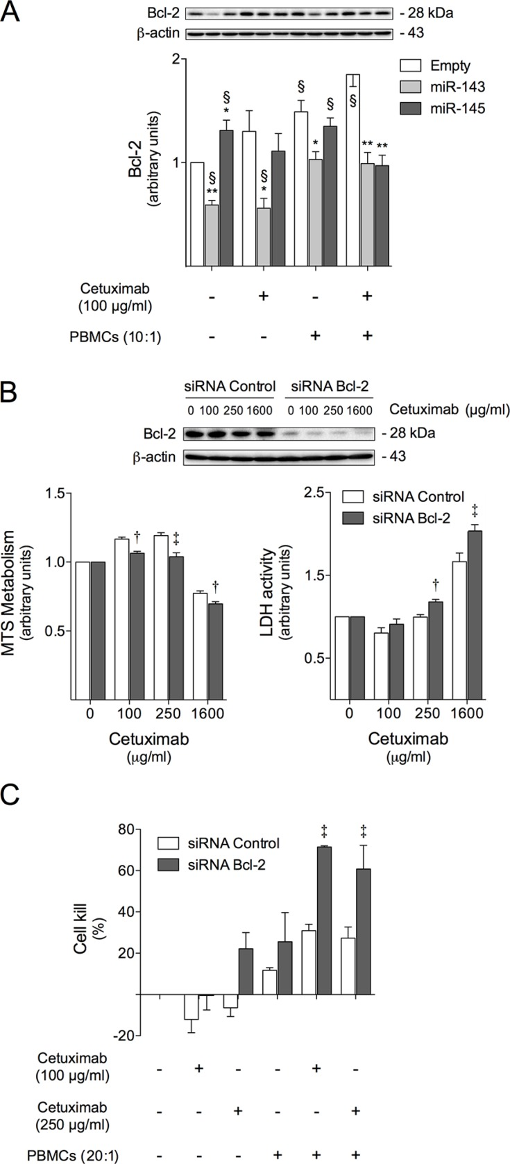 Bcl-2 is involved in cetuximab sensitization induced by miR-143 or miR-145 overexpression, increasing cell susceptibility to cetuximab-mediated ADCC ( A ) HCT116-Empty, HCT116-miR-143 and HCT116-miR-145 cells were exposed to 100 μg/ml cetuximab or PBMCs (10:1) alone, or co-treatment of cetuximab together with PBMCs (10:1), or vehicle (control) for 48 h to evaluate Bcl-2 protein expression, by immunoblot. HCT116 cells were transfected with Bcl-2 siRNA or siRNA control, and next treated with cetuximab for 72 h, and used for: ( B ) Bcl-2 protein expression evaluation by immunoblot (upper panel), and evaluation of cell viability and general cell death, respectively by MTS and LDH assay (lower panel); ( C ) cetuximab-mediated ADCC evaluation, where siRNA transfected cells were exposed to cetuximab and/or PBMCs (20:1) and the growth inhibitory effects were assayed using the xCELLigence system as described above. Quantification of growth inhibitory effects are presented as the percentage of cell kill for 100 μg/ml or 250 μg/ml cetuximab treatment, after 72 h of exposure. Representative blots from at least three independent experiments are shown. Results are expressed as (A) mean ± SEM fold-change to untreated control cells, (B) the mean ± SEM fold change to respective untreated cells, or (C) mean ± SEM, from at least three independent experiments. ** p