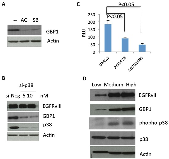 EGFRvIII–stimulated GBP1 expression is <t>p38</t> MAPK dependent A. After 24 h of serum starvation, U87-EGFRvIII cells were treated with DMSO (−), 10 μM of the <t>EGFR</t> tyrosine kinase inhibitor AG1478 (AG), or 20μM of the p38 inhibitor SB203580 (SB) for an additional 24 h before Western blot analysis. B. U87-EGFRvIII cells were transfected with the indicated concentration of p38 siRNA (si-p38) or control siRNA (si-Luc) for 24 h and then serum starved for 24 h followed by Western blot analysis. The p38 siRNAs were described previously [ 10 ]. C. U87-EGFRvIII cells were transfected with pGL3-237 and pRL-TK for 24 h and then serum starved for 24 h. The starved cells were pretreated with DMSO or 20 μM SB203580 for an additional 24 h before reporter assay. This result is expressed as the mean of three independent experiments ± SD. *, P