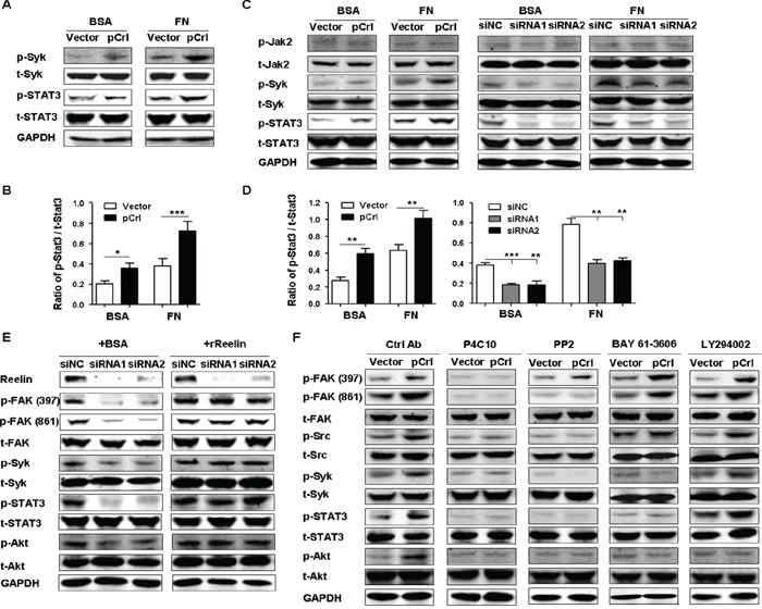 Reelin promotes the activation of Syk and STAT3 via integrin β1 A. Reelin induces the activation of Syk and STAT3. H929 cells transfected with pCrl or control plasmid were cultured in 5% BSA- or FN-coated plates for 1 hour. The cells were then subjected to western blotting with phospho-STAT3 (Tyr705), total STAT3, phospho-Syk (Tyr525/526), and total Syk-specific antibodies. B. Densitometric quantification of phospho-STAT3 over total STAT3 from the blot shown in (A). C. Reelin promotes activation of Syk and STAT3 in H929 cells treated with Doxorubicin. H929 cells were transfected with pCrl or reelin-specific siRNAs for 40 hours and were then treated with Dox (2 μM) in the presence or absence of FN. Twenty-four hours later, the cells were subjected to western blotting for the activation of Jak2 (phospho-Jak2, Tyr1007/1008), Syk, and STAT3. D. Densitometric quantification of phospho-STAT3 over total STAT3 from the blot shown in (C). E. The reduced activation of FAK, Src, Syk, and STAT3 caused by reelin-specific siRNAs is ameliorated by the addition of recombinant reelin. Reelin-specific siRNA-transfected H929 cells were treated with Dox in FN-coated wells in the presence of BSA or recombinant reelin. Cell harvesting and western blotting was performed 24 hours later. F. The effects of integrin β1 inhibitory antibody, Src inhibitor, Syk inhibitor and PI3K inhibitor on the activation of β1 signaling pathway. H929 cells were transfected with pCrl or control plasmid. Forty hours later, the cells were cultured in FN-coated plates and were treated with integrin β1 inhibitory antibody P4C10, Src inhibitor PP2, Syk inhibitor BAY 61-3606, or PI3K inhibitor LY 294002 for 24 hours. The cells were then lysed and subjected to western blotting. Data are representative of three independent experiments.