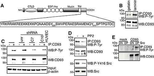 Binding of DG to laminin induces CD93 phosphorylation via Src ( A ) The schematic diagram illustrates the domains of CD93 and the 47-amino acid sequence of its cytoplasmic tail containing tyrosine 628 and 644. CTLD, C-type lectin-like domain; EGF-like, Epidermal Growth Factor repeats; Mucin. Mucin-like domain; TM, transmembrane domain. ( B ) Cell extracts from ECs spreading and growing on gelatin or laminin were immunoprecipitated with anti-CD93 antibodies. Immunoprecipitates were analyzed by Western blotting with anti-phosphotyrosine and anti-CD93 antibodies to confirm equal loading. ( C ) HUVEC were infected with a lentiviral vector expressing unrelated (unr) or DG (clones C7 or C10) shRNAs. Not infected ECs were also analyzed (HUVEC). Cell extracts from cells spreading and growing on laminin were immunoprecipitated or not (+, −) with anti-CD93 antibodies and analyzed by Western blotting with anti-phosphotyrosine antibodies. To confirm equal loading, whole cell lysates were analyzed by Western blotting with anti-CD93 and anti-β-actin antibodies. ( D ) HUVEC were allowed to adhere and grow on laminin in the presence (+) or not (−) of PP2 (10 μm). Cell lysates were immunoprecipitated with anti-CD93 antibodies and analyzed by immunoblotting with anti-phosphotyrosine and anti-CD93 antibodies to confirm equal loading. In the same cell lysates, phosphorylation on tyrosine 416 of Src, a protein modification that is closely correlated with kinase activity, was analyzed by Western blotting with anti-phospho-Y416 Src and anti-Src antibodies to confirm equal loading. All experiments were performed three-four times. ( E ) Human Lenti-X 293T cells, which do not express wild type CD93, were transiently cotransfected with a construct expressing human CD93 and the constitutively active (DP) or kinase dead (DN) Src kinase. Transfection with an empty vector (mock) is indicated. Cell lysates were immunoprecipitated with anti-CD93 antibodies and analyzed by Western blotting with anti