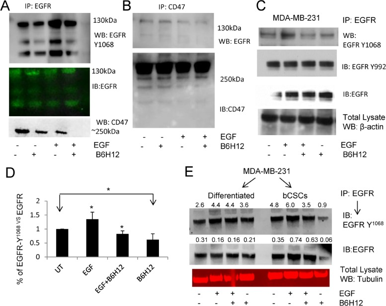 A. <t>AEGFR-immunoprecipitation</t> from MDA-MB-231 cell extracts followed by western blotting shows that B6H12 treatment for 15 min disrupts the association between EGFR and CD47 and inhibits EGFR-Y 1068 phosphorylation. B . CD47-immunoprecipitation showed that a fraction of EGFR co-immunoprecipitates with EGFR. B6H12 treatment for 15 min reduced interaction between CD47 and EGFR in MDA-MB-231 cells. ( C .- D .) MDA-MB-231 cells were pretreated with B6H12 for 15 minutes followed by EGF for 5 minutes, and IP-western blotting was performed using phospho-EGFR antibody. D . Quantification of three experiments was analyzed using the t-test (*P