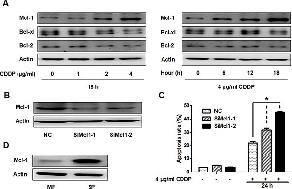 CDDP resistance is partially associated with Mcl-1 in GBC-SD and SP cells ( A ) Immunoblot analysis of Mcl-1, Bcl-xl and Bcl-2 protein in GBC-SD cells. Left panel, cells were treated with the indicated concentrations of CDDP for 18 hrs. Right panel, cells were treated with 4 ug/ml CDDP and harvested at the indicated times. Δ-Actin was used as a loading control. ( B ) Cells were transfected with non-specific siRNA (NC) or Mcl-1 siRNA (SiMcl1) for 48 hrs and reduction in Mcl-1 was analysed by western blot ( C ) Apoptosis analysis using Annexin V/PI flow cytometry in GBC-SD cells transfected with Mcl-1 siRNA after treatment with CDDP for 24 hrs. Data shown is average of three independent experiments. * P