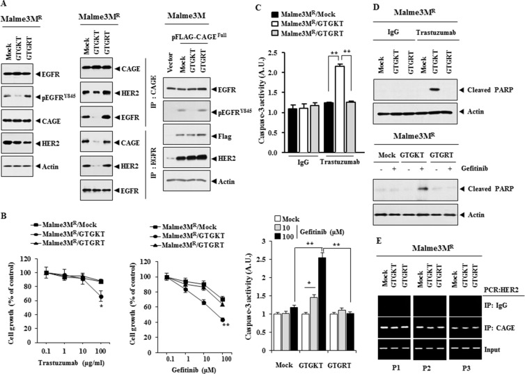 The inactivation of EGFR confers sensitivity to anti-cancer drugs and inhibits interactions of EGFR with CAGE and HER2 ( A ) Malme3M R cells were treated with the indicated peptide (each at 10 μM) for 48 h. Cell lysates were then isolated and subjected to immunoprecipitation and immunoblot analysis (left panel). Malme3M cells were transfected with the indicated construct (each at 1 μg) along with the indicated peptide (10 μM). At 48 h after transfection, cell lysates were subjected to immunoblot analysis (right panel). ( B ) Malme3M R cells were treated with the indicated peptide (each at 10 μM) for 48 h. Cells were then treated with various concentrations of trastuzumab or gefitnib for 24 h, followed by MTT assays. * p