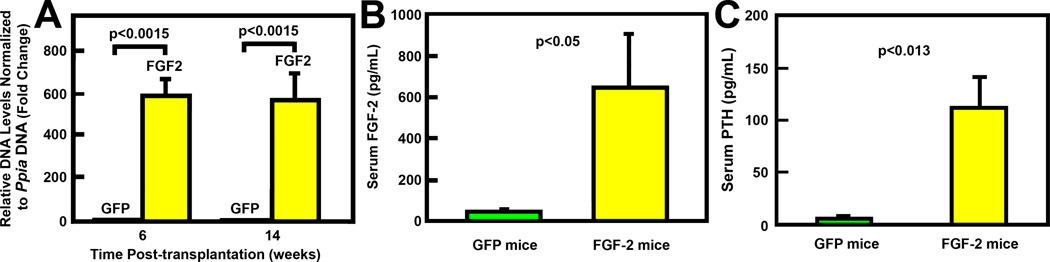 Effects of marrow transplantation of MLV- FGF2 - or MLV- gfp -transduced Sca-1 + cells on relative levels of engraftment (A), as well as serum levels of FGF2 (B), and serum PTH (C) in recipient mice. In A, engraftment of FGF2-expressing Sca-1 + cells was assessed by measuring the relative level of human FGF2 genomic DNA content in peripheral blood cells of recipient mice of MLV- FGF2 -transduced cells (FGF2) or control MLV- gfp -transduced cells (GFP) at 6 or 14 weeks post-transplantation, respectively. N = 7 per group. In B, serum FGF2 levels of recipient mice of MLV-FGF2-transduced cells (FGF-2 mice) or the control MLV-gfp-transduced cells (GFP mice) at 14 weeks post-transplantation were assayed with a commercial ELISA kit. N = 7 per group. In C, serum PTH levels of recipient mice of MLV- FGF2 - or MLV- gfp -transduced Sca-1+ cells at 14 weeks post-transplantation were measured with a commercial ELISA kit. N = 7 per group.