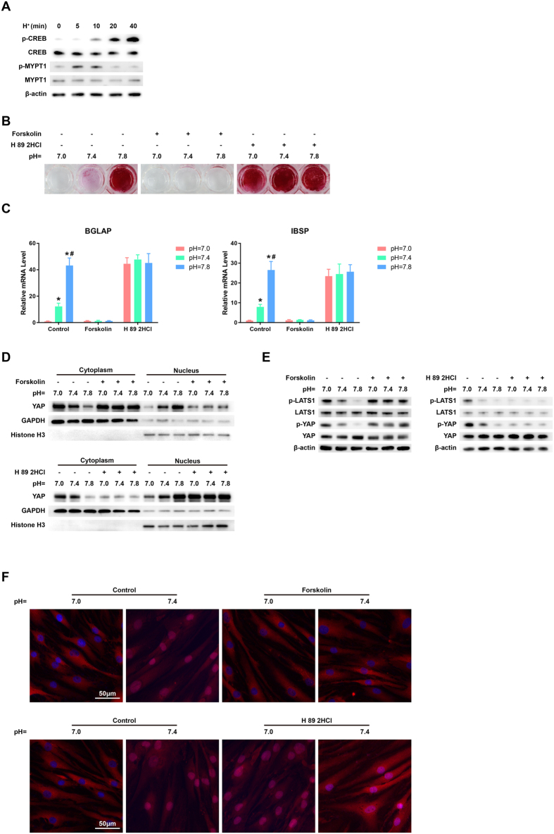 cAMP/PKA is required for the pH-dependent regulation of osteogenesis and YAP activity. BMSCs were incubated in osteogenic media for 21 days and then transferred to low pH (pH = 7.0) basal media for different times (t = 0, 5, 10, 20, or 40 min). The phosphorylation of MYPT1 and CREB was assessed by western blotting (A) . BMSCs were incubated in osteogenic media at different pHs containing a cAMP activator <t>(forskolin)</t> or a PKA inhibitor (H 89 2 HCl) for 21 days. The calcium deposits in the differentiated BMSCs were evaluated by Alizarin red S staining (B) , and the expressions of IBSP and BGLAP were examined by qRT-PCR analysis (C). * P