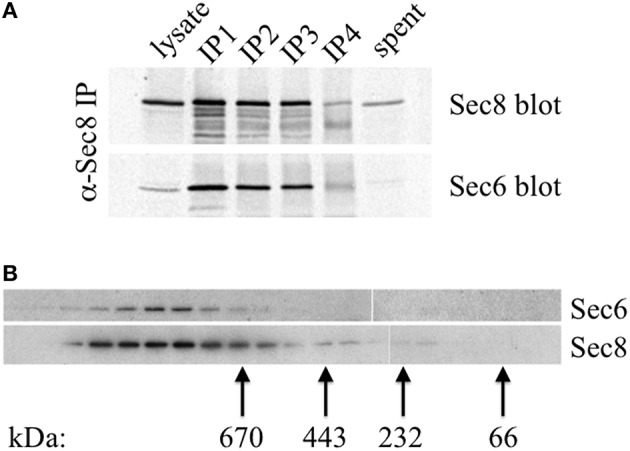 """Sec6 is quantitatively associated with Sec8 in high molecular weight complexes in MDCK cells . (A) All endogenous Sec6 is bound to Sec8. MDCK RIPA extracts were immunoprecipitated 4 times with anti-Sec8-bound protein A sepharose. Input lysate represents 10% of starting material. Depleted lysate (""""spent"""") represents 50% of the final post-immunoprecipitation supernatant. Samples were resolved by SDS-PAGE and immunoblotted with anti-Sec8(8F12) and anti-Sec6(10D11) antibodies. (B) Detergent extracts of polarized MDCK cells were fractionated by Superose 6 FPLC as described in Experimental Procedures. Fractions 9–27 were divided into equal aliquots, separated by SDS-PAGE, and transferred to Immobilon P membranes. Membranes were probed with anti-Sec8(8F12) and anti-Sec6(10D11) antibodies. Elution peaks of globular protein standards with known molecular weights were also determined: thyroglobulin, Mr = 669,000 (fraction 16); apoferritin, Mr = 443,000 (fraction 19); catalase, Mr = 232,000 (fraction 22); bovine serum albumin, Mr = 66,000 (fraction 25)."""