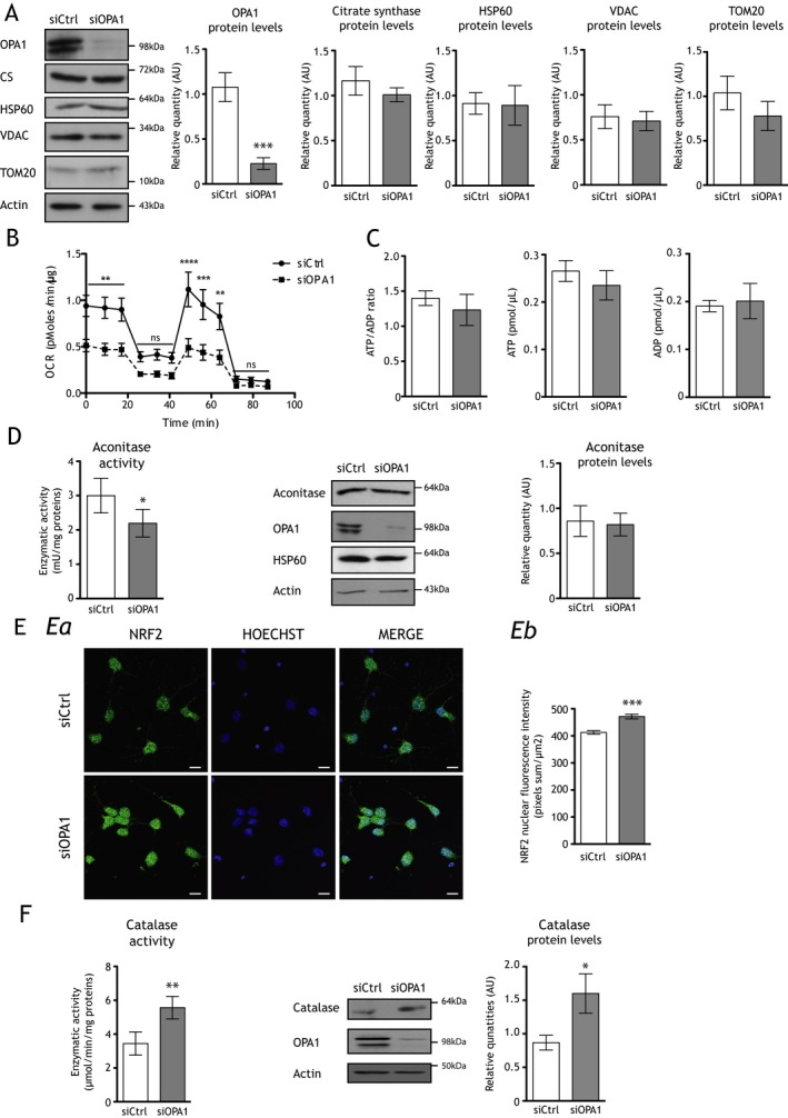 OPA 1 downregulation decreases mitochondrial respiration, induces the nuclear translocation of NRF 2, and increases both catalase quantity and activity in cortical neurons ex vivo. (A) Representative immunoblots and histograms showing protein levels of OPA 1 (inner membrane), citrate <t>synthase</t> (matrix), HSP 60 (matrix), VDAC (outer membrane), and TOM 20 (outer membrane) relative to actin in si OPA 1‐ (gray bars) and siCtrl‐transfected (white bars) neurons. Only OPA 1 protein quantity is drastically decreased (0.23 ± 0.06 AU) in si OPA 1 neurons when compared to controls (1.08 ± 0.16 AU). Results are expressed as mean ± SEM ( n = 5–8). Statistical significance was determined by Student's paired t ‐test, *** P