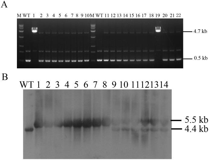 Identification for BLG bi-allelic modification clones. (A) Long-range PCR analysis performed on genomic DNA by primers LRF and LRR. Lane WT, non-transgenic cells; Lanes 1–22, gene-targeted clones. The wild-type allele PCR product was 0.5 kb and the targeted allele PCR product was 4.7 kb. (B) Southern blot analysis for gene targeted clones. Lane WT, non-transgenic cells; Lanes 1–8, BLG bi-allelic modification clones identified by LR-PCR; Lanes 9–14, BLG mono-allelic modification clones identified by LR-PCR.