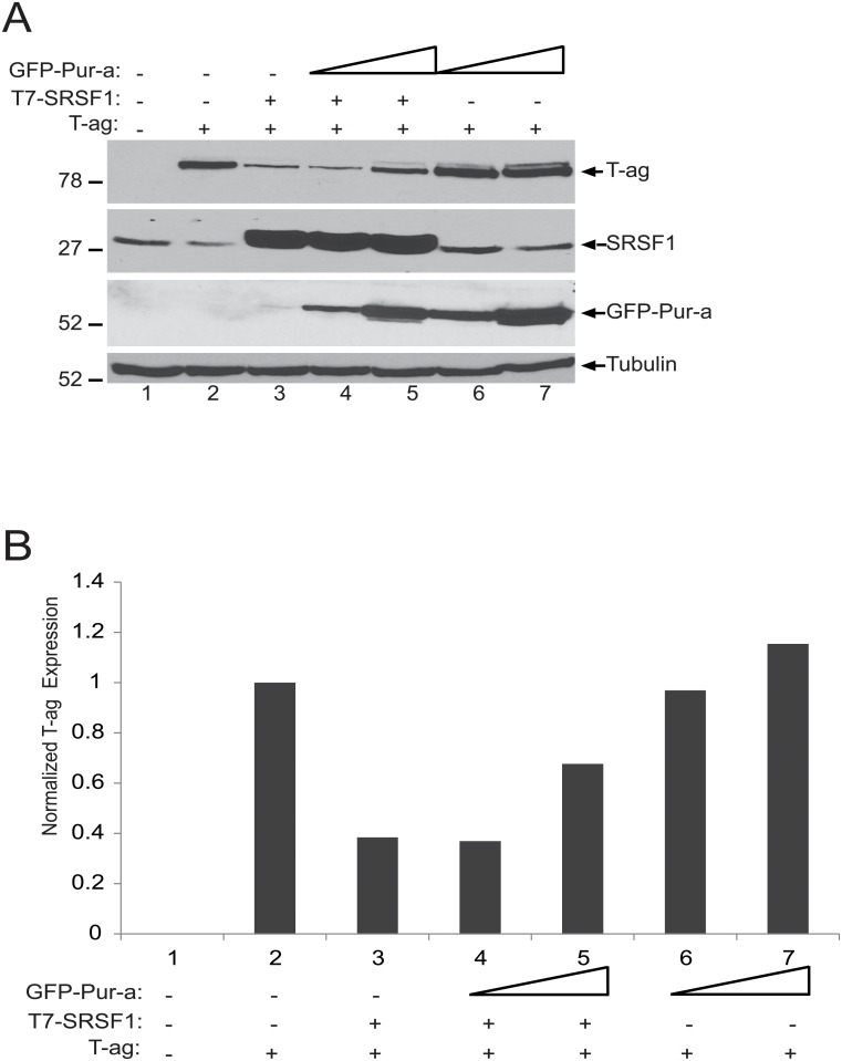 SRSF1-mediated suppression of JCV T-antigen is ameliorated by Pur-alpha. A. T98G cells were transiently transfected with expression plasmids encoding JCV T-antigen, T7-tagged SRSF1 and GFP-tagged Pur-alpha as indicated. Expression of the proteins were detected by Western blotting using anti-T-antigen, anti-SRSF1, and anti-GFP antibodies. Tubulin was probed in the same blots as an internal loading control. B. Bar graph presentation T-antigen expression levels based on signal intensity of T-antigen normalized to levels of the tubulin internal loading control in panel A.