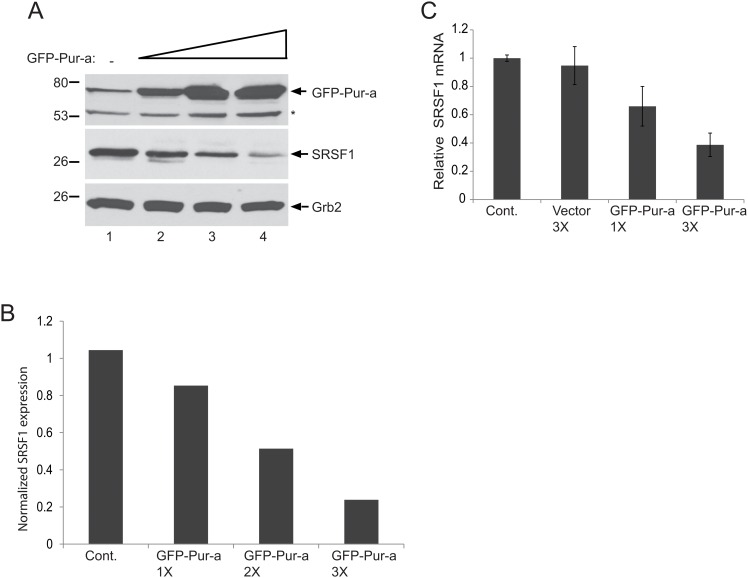 Dose dependent inhibition of SRSF1 by Pur-alpha in glial cells. T98G cells were transfected with increasing concentrations of pEGFP-Pur-alpha plasmid (1X, 2X, and 3X) and whole cell protein extracts were prepared at 48hr post-transfection. Expression of SRSF1 and Pur-alpha were detected by Western blotting using anti-Pur-alpha and anti-SRSF1 antibodies. Grb2 was also probed in the same blots as an internal loading control. B. Signal intensities of SRSF1 expression in panel A were normalized to Grb2 levels and are shown as a bar graph. C. T98G cells were transfected with increasing concentrations of an expression plasmid encoding GFP-Pur-alpha. Total RNA was extracted and expression levels of SRSF1 mRNA transcripts were determined by Q-RT-PCR. mRNA levels of SRSF1 were normalized and are presented relative to change in relation to the control as a bar graph. All experiments were carried out in triplicate.