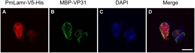 Immunofluorescence images; note colocalization of PmLamr-V5-His with MBP-VP31 on cells. Drosophila S2 cells were transfected with pDHsp/PmLamr-V5-His. At 48 h after transfection, 1 μg of MBP-VP31 was added. The presence of (A) PmLamr-V5-His (red) is visualized by rabbit anti-PmLamr antibody and Cy3 dye-conjugated goat anti-rabbit IgG antibody. As for (B) MBP-VP31 (green), mouse anti-MBP antibody and Alexa Fluor ® 488 dye-conjugated goat anti-mouse IgG antibody were used. (C) The nuclear DNA was counterstained by DAPI. (D) Merged Cy3, Alexa Fluor ® 488, and DAPI signals. Scale bar = 10 μm.
