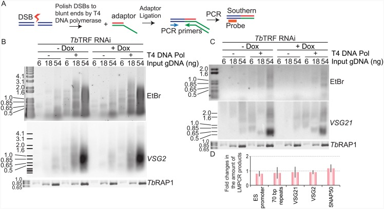 Tb TRF depletion does not affect the amount of DSBs inside VSG ESs. (A) Principle of LMPCR assay. After DSBs (represented by a bolt) form, an adapter is ligated with the genomic DNA at the break sites if they have blunt ends. Treating genomic DNA with T4 DNA polymerase converts staggered broken ends into blunt ends. The ligated products are then amplified by PCR using a locus-specific forward primer and the adapter-specific reverse primer. The PCR amplified products are subsequently detected by locus-specific probes in Southern analysis. (B    C) LMPCR analyses were performed in  Tb TRF RNAi cells. The LMPCR products were hybridized with  VSG2  (B) and  VSG21  (C). In panels B    C, the Ethidium Bromide (EtBr)-stained LMPCR products are shown at the top, the Southern blot result is shown in the middle, and the PCR products using primers specific to the  TbRAP1  gene (as a loading control) are shown at the bottom. The amounts of input genomic DNA, either treated (+) or not treated (−) with T4 DNA polymerase, were marked on top of each lane. (D) Quantification of the change in the amounts of LMPCR products (with T4 DNA pol treatment using 54 ng input gDNA) from three independent experiments. Average values are shown. Error bars represent standard deviations.