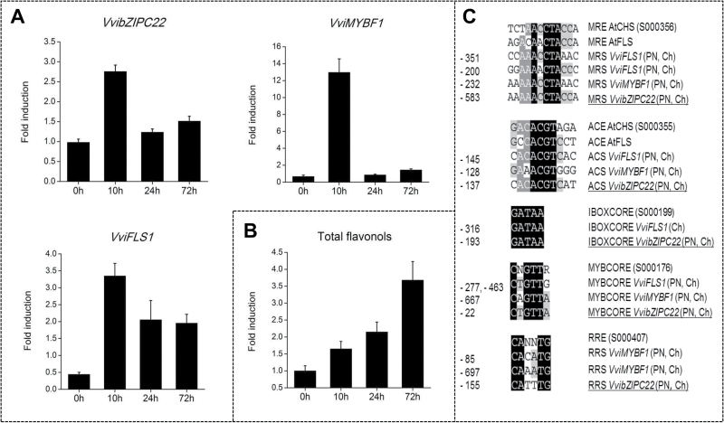 UV light responsiveness of VvibZIPC22 and flavonol pathway genes. (A) Induction of VvibZIPC22 , VviFLS1 , and VviMYBF1 in Chardonnay leaves after UV light treatment. Each bar corresponds to the fold induction in gene expression between treated and control leaves as determined by qRT-PCR. Transcript levels were measured using gene-specific primers ( Supplementary Table S1 ), calibration against the expression value in the control sample at 0h post-treatment, and normalization against VviGADPH and VviUbiquitin relative expression. (B) Accumulation of flavonols in Chardonnay leaves after UV light treatment. Each bar corresponds to the fold induction in the total content of flavonol aglycons between treated and control leaves as detected by HPLC-DAD analysis. For both measurements, each data point corresponds to the mean and SE of three independent extractions of the same biological material. (C) Putative light regulatory elements identified in the promoter of VvibZIPC22 (PN, Ch) in this study (underlined) and in the promoters of VviMYBF1 and VviFLS1 ( Czemmel et al. , 2009 ). These cis -elements were aligned with the corresponding Arabidopsis elements taken from the PLACE database ( Higo et al. , 1999 ) using GeneDoc software (v. 1.6). Nucleotides are labelled from black to light grey according to their conservation. Numbers in front of the alignment indicate the relative distance of each element from the putative transcriptional start site (+1). CHS, chalcone synthase; FLS, flavonol synthase; PN, Pinot Noir; Ch, Chardonnay; ACS, ACGT-containing sequence similar to ACE in the Arabidopsis CHS promoter (accession no. S000355); MRS, MYB recognition sequence similar to MRE in the Arabidopsis CHS promoter (S000356); MYBCORE (S000176), IBOXCORE element (S000199); RRS, R response sequence similar to RRE in the Arabidopsis CHS promoter (S000407).
