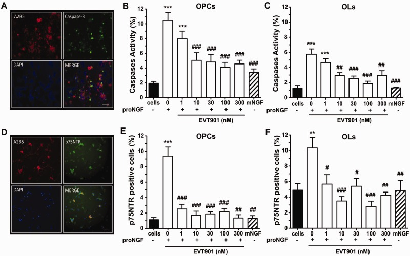 EVT901 blocks proNGF-mediated caspase activity and p75NTR expression in OPCs and oligodendrocytes in vitro and reduces proNGF-induced cell death. ( A ) Immunostaining showed that treatment with pro-NGF (50 ng/ml) induced caspase-3 activity in OPCs in vitro . ( B and C ) Caspase activity was measured by counting positive cells using the FLICA assay. Pro-NGF (50 ng/ml) increased caspase activity in cultured OPCs and oligodendrocytes. However, EVT901 added to the medium reduced the percentage of caspase-positive cells in a dose-dependent manner for OPCs and oligodendrocytes [one-way ANOVA, F (7,67) = 10.02, P