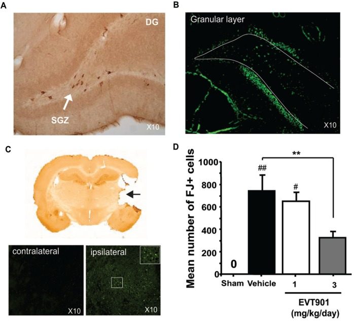 Acute expression of p75NTR after FPI-TBI and reduction of neurodegeneration with EVT901 in vivo . ( A ) Immunohistochemical expression of p75NTR at 1–2 days in the dentate gyrus of TBI rats using specific anti-p75NTR antibody. ( B ) Representative photomicrographs (original magnification ×10) of Fluoro-Jade® staining of damaged neurons in the granular layer of the dentate gyrus in FPI-TBI rats 1 week post-injury. ( C ) Representative photomicrographs of Fluoro-Jade®-stained sections from the thalamus 14-days post-trauma (ipsilateral versus contralateral to the injury). ( D ) Quantification of Fluoro-Jade® B-positive degenerating cells in the thalamus of FPI-TBI rats after EVT901 treatment. Following Fluoro-Jade staining, the digital images were collected and the damaged cells were quantified using Explora Nova Software. Three mg/kg/day of EVT901 protected neurons in the thalamus after TBI [one-way ANOVA, EVT901 effect, F (3,18) = 8.46, P = 0.001]. # P