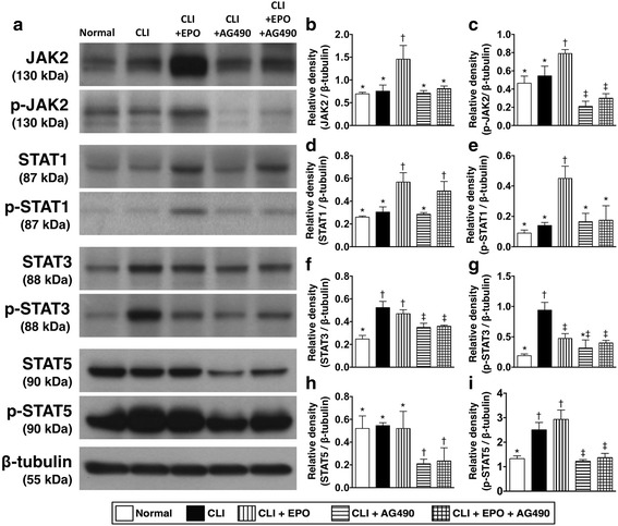 EPO regulates the expression and phosphorylation levels of JAK/STATs in quadriceps after critical limb ischemia. a Twenty-four hours after CLI, total protein was extracted from quadriceps and Western blots were performed with antibodies against JAK2, phospho-JAK2, STAT5, phospho-STAT5, STAT1, phospho-STAT1, STAT3, and phospho-STAT3. b and c The expression levels of total and phosphorylated JAK2. d and e The expression levels of total and phosphorylated STAT1. f and g The expression levels of total and phosphorylated STAT3. h and i The expression levels of total and phosphorylated STAT5. Statistical analysis used one-way ANOVA followed by Bonferroni multiple comparison post hoc test ( n = 8 for each group). Symbols (*, †, ‡,) indicate significance at p value less than 0.05. EPO, Erythropoietin; JAK, Janus kinase; STAT, Signal Transducer and Activator of Transcription