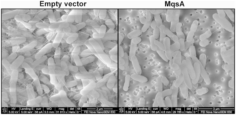 Curli and cellulose are reduced in MqsA-producing cells. Curli production was assayed from cells in 2-day old colonies on agar plates with 1 mM IPTG, and imaged using SEM. Empty vector: BW25113 Δ mqsRA /pBS(Kan) and MqsA: BW25113 Δ mqsRA /pBS(Kan)- mqsA . For each strain, 3 independent colonies were examined, and an image from one representative colony is shown. Scale bars represent 2 μm (left) and 3 μm (right).
