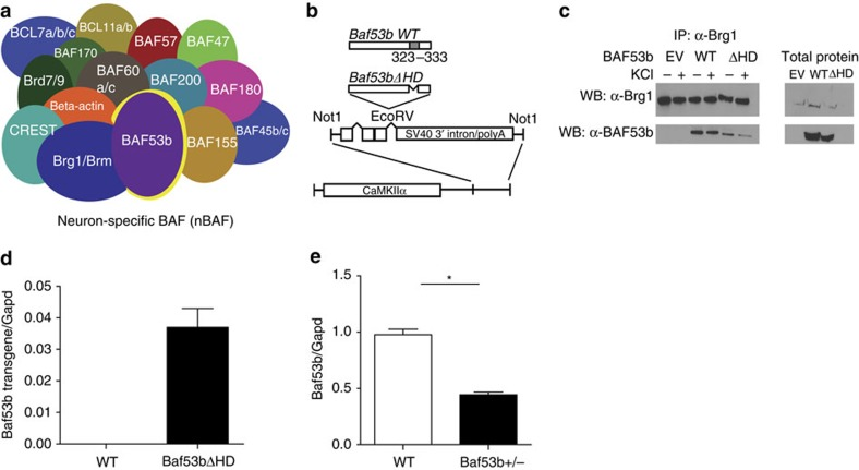 Characterization of Baf53b +/− heterozygous knockout and Baf53bΔHD mice. ( a ) nBAF complex is combinatorially assembled, meaning that the individual subunits included in each unique complex can alter CRC function 20 containing the dedicated and neuron-specific subunit BAF53b (highlighted in yellow). ( b ) WT Baf53b is illustrated with the hydrophobic domain (grey). Amino acids 323–333 in the hydrophobic domain were deleted to generate the BAF53bΔHD construct. This Baf53bΔHD mutant sequence was then cloned into a separate vector containing intron and exon sequences with splice sites and the SV40 intron and polyadenylation signal, which was then cloned downstream of the 8.5-kb mouse CamkIIα promoter 23 . This construct was then used to generate the Baf53bΔHD transgenic mice. ( c ) Immunoprecipitation and western blotting showing that Brg1 co-immunoprecipitates with BAF53b and BAF53bΔHD. ( d ) RT–qPCR revealed that the BAF53bΔHD transgene is only expressed in the BAF53bΔHD mutant mice and not in their WT littermates. Data are presented as mean±s.e.m. ( e ) RT–qPCR revealed that Baf53b +/− heterozygous knockout mice ( n =8) have significantly reduced WT Baf53b expression in the NAc compared with their WT littermates ( n =7; t (13)=10.25, P