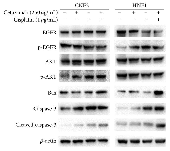 Effects of combination treatment with cetuximab and cisplatin on the expressions of proapoptosis proteins and EGFR/AKT signaling pathway proteins. Cells were treated with cetuximab, cisplatin, or the combination treatment of cetuximab and cisplatin for 48 h. The expressions of EGFR, p-EGFR, AKT, p-AKT, Bax, caspase-3, and cleaved caspase-3 in both cells were detected by Western blotting analysis. β -actin was used as a loading control.