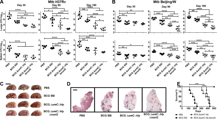 Deletion of nuoG in the clinical vaccine candidate, BCG Δ ureC :: hly , further improves long-term protection against TB. (A and B) Mice vaccinated subcutaneously with phosphate-buffered saline (PBS; ●), BCG SSI (■), BCG Δ ureC :: hly (▲), or BCG Δ ureC :: hly Δ nuoG (◆) were aerosol infected after 90 days with a low dose of 100 to 200 CFU of M. tuberculosis laboratory strain H37Rv ( n = 5 to 6) per animal (A) or a clinical isolate of the Beijing/W lineage ( n = 7) (B). Bacterial burdens of organs were assessed at designated time points p.i. by plating organ homogenates. Shown are means ± standard deviations. Results are representative of three (A) or two (B) experiments. Data were analyzed using one-way ANOVA with Tukey's multiple-comparison test. (C) Gross pathology of left lung lobe from three out of six vaccinated mice 180 days p.i. with M. tuberculosis H37Rv. Bar, 5 mm. Results are representative of two experiments. (D) Pulmonary histopathology of the left lung lobe from vaccinated mice 180 days p.i. with M. tuberculosis H37Rv. Lungs were fixed and embedded, and sections were stained with H E prior to examination. Bar, 1 mm. Results are representative of two experiments. (E) Survival of SCID mice after subcutaneous administration of 10 6 CFU of indicated strains was monitored over time. Median survival calculated by Mantel-Cox log rank test was 181.5 days (BCG SSI), 398 days (BCG Δ ureC :: hly ), and 405 days (BCG Δ ureC :: hly Δ nuoG ). Results are representative of two experiments. *, P