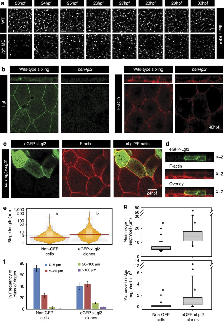 Lgl regulates the length of microridges by promoting their fusion. Live time-lapse imaging of microridge elongation ( a ) in clones expressing lifeActRFP under CMV promoter in wild-type and lgl1 morphant embryos during 23–30 hpf. Immunolocalization of Lgl and F-actin at the basolateral domain in wild-type and pen/lgl2 mutant at 48 hpf ( b ). Confocal images of immunostaining using anti-GFP antibody and phalloidin in wild-type embryos-injected with eGFP-xLgl2 construct under CMV promoter at 24 hpf ( c ) and their orthogonal sections ( d ). Visualization of the distribution of the ridge lengths and medians in eGFP-xLgl2 expressing clones and surrounding non-GFP cells using bean plots ( e ). The frequency distribution of ridges in short (0–5 μm), intermediate (5–20 μm), long (20–100 μm) and very long ( > 100 μm) categories ( f ). The box-whisker plots ( g ) represent the distributions of means and variances per cell in eGFP-xLgl2 expressing clones and surrounding non-GFP cells. Data presented in e – g is based on ridge-length measurements done on phalloidin stainings performed in the eGFP-xLgl2 injected embryos at 24 hpf. In bean plots ( e ) and box-whisker plots ( g ) the alphabets 'a' and 'b' represent significant difference in median values at P